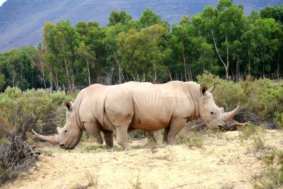 Spotted: Rhinos