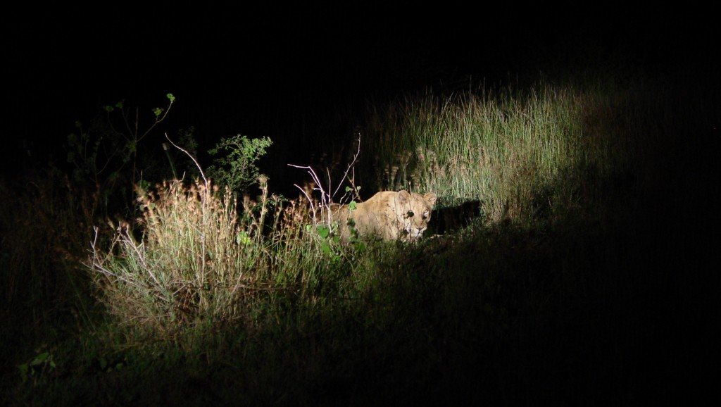 One of the lions chillin... we were so quiet so we don't agitate them. This is very exhilarating.