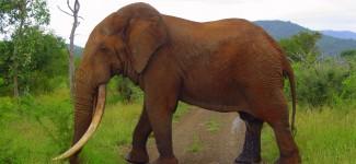 One of the oldest elephants in Kruger National Park